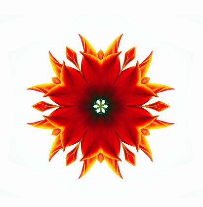 チューリップ「Tulip flower mandala」:スマホ壁紙(10)