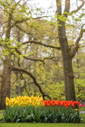 Keukenhof Gardens「Tulip flower bed during spring」:スマホ壁紙(19)