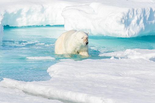 Pack Ice「Adult male polar bear on pack ice」:スマホ壁紙(14)