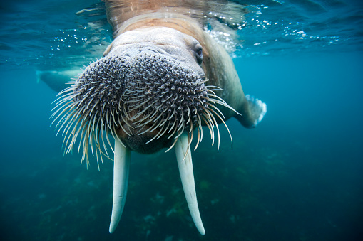 Animal Whisker「Adult male walrus, Lagoya, Svalbard, Norway」:スマホ壁紙(5)