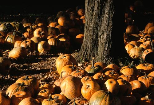 ハロウィン「Pumpkins on ground, Buck's County, PA, USA」:スマホ壁紙(3)