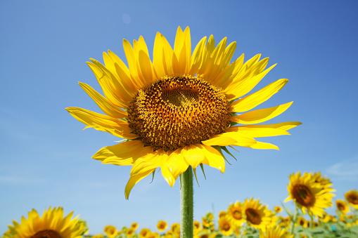 ひまわり「Field of sunflowers, Zama, Kanagawa Prefecture, Japan」:スマホ壁紙(2)