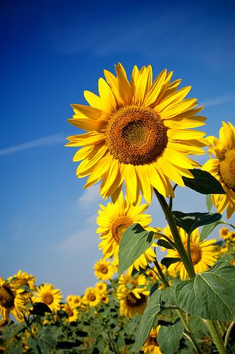 ひまわり「フィールドの Sunflowers」:スマホ壁紙(11)