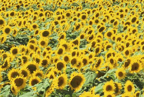 ひまわり「Field of sunflowers (Helianthus sp.)」:スマホ壁紙(5)
