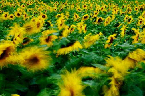ひまわり「Field of sunflowers(long exposure)」:スマホ壁紙(1)