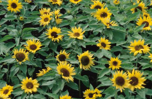 ひまわり「Field of sunflowers」:スマホ壁紙(19)
