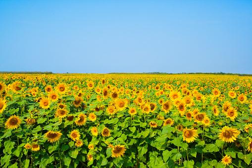 ひまわり「Field of sunflowers」:スマホ壁紙(7)