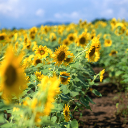 ひまわり「Field of sunflowers (Helianthus sp.)」:スマホ壁紙(2)