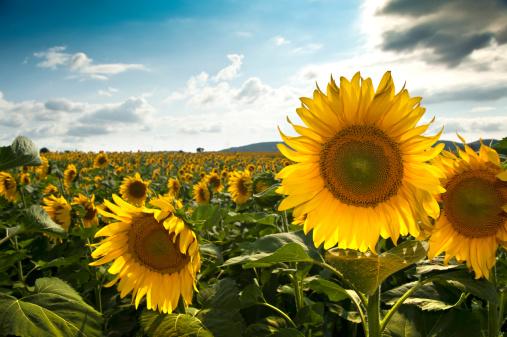 ひまわり「フィールドの sunflowers」:スマホ壁紙(6)