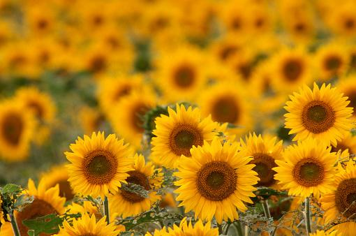 1990-1999「Field of Sunflowers」:スマホ壁紙(13)