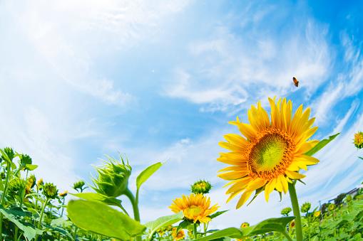 ひまわり「Field of sunflowers」:スマホ壁紙(4)