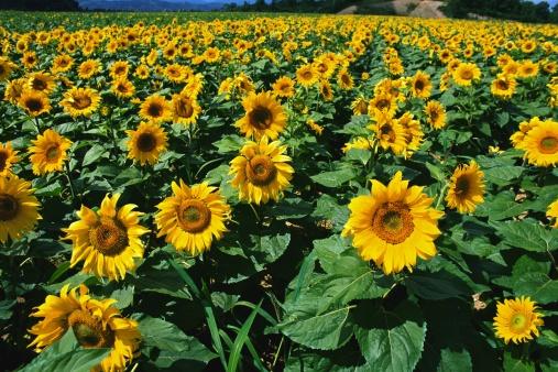 Flower Stigma「A field of sunflowers」:スマホ壁紙(10)