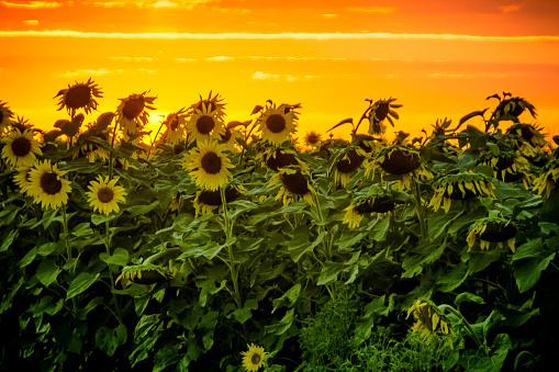 花「Field of sunflowers, Minnesota, America, USA」:スマホ壁紙(18)