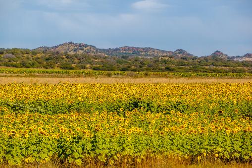 ひまわり「A field of sunflowers near the town of Brits, South Africa.」:スマホ壁紙(7)