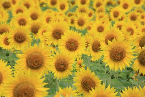 ひまわり「Field of sunflowers, Kagoshima Prefecture, Kyushu, Japan」:スマホ壁紙(11)