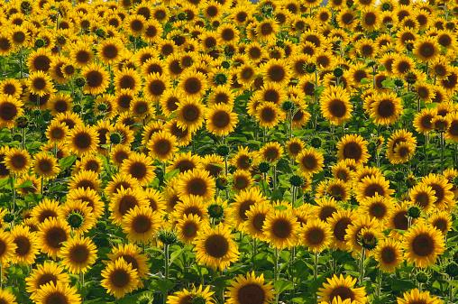ひまわり「Field of sunflowers, Helianthus annuus」:スマホ壁紙(4)