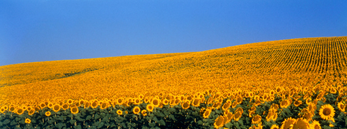 ひまわり「Field of sunflowers, Cadiz, Spain」:スマホ壁紙(14)
