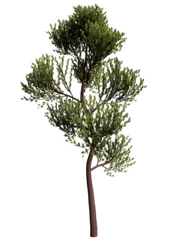 Clip Art「scotch pine」:スマホ壁紙(19)