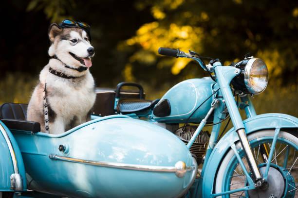 Malamute puppy in a motorcycle sidecar:スマホ壁紙(壁紙.com)