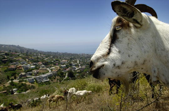 Ecosystem「GOATS PROTECT HOUSES FROM FIRE」:写真・画像(1)[壁紙.com]
