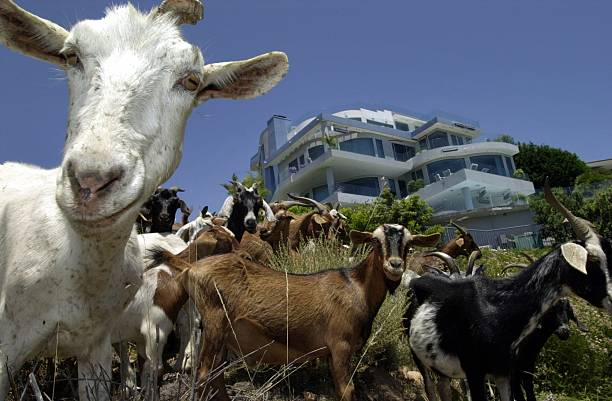 GOATS PROTECT HOUSES FROM FIRE:ニュース(壁紙.com)