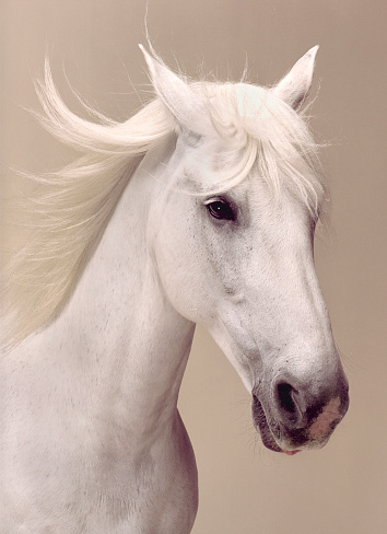 Horse「Beauty portrait of a white horse」:スマホ壁紙(17)