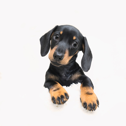 Dachshund「Cute pedigree Dachshund puppy posing against a white background」:スマホ壁紙(4)