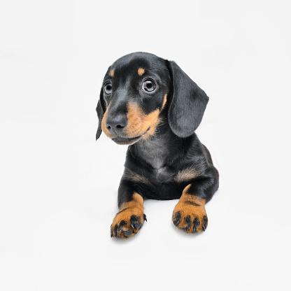 Puppy「Cute pedigree Dachshund puppy posing against a white background」:スマホ壁紙(10)