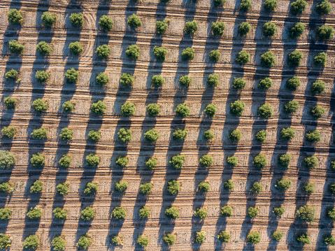 Grove「Olive plantation in Spain」:スマホ壁紙(11)