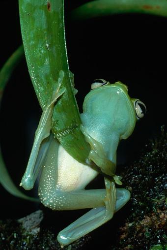 Montane Rainforest「Treefrog Climbing on Leaf」:スマホ壁紙(18)