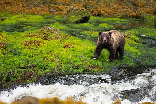 Bear Cub「Large yearling grizzly cub in Alaska rainforest」:スマホ壁紙(17)