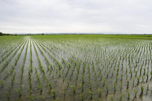 Planting「Rice Paddy」:スマホ壁紙(4)