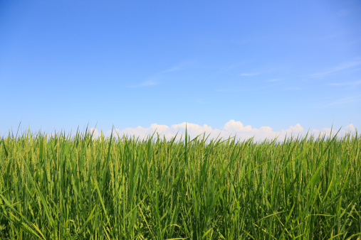里山「Rice Paddy in Summer, Toyama, Japan」:スマホ壁紙(5)