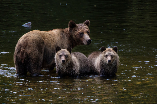 Brown Bear「Brown bear standing in river with her cubs, Canada」:スマホ壁紙(8)