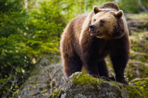 Brown Bear「Brown bear」:スマホ壁紙(8)