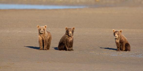 Bear Cub「Brown Bear Cubs on Mud Flat」:スマホ壁紙(6)