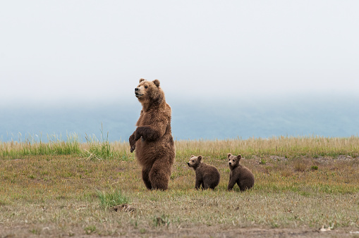 Full Length「Brown bear (ursus arctos) and cubs standing in a row, Katmai National Park」:スマホ壁紙(2)