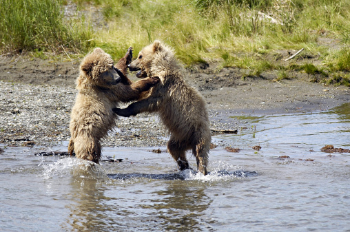 Omnivorous「Brown Bear cubs, Ursus arctos, playing in water. Katmai National Park. Alaska. USA」:スマホ壁紙(11)