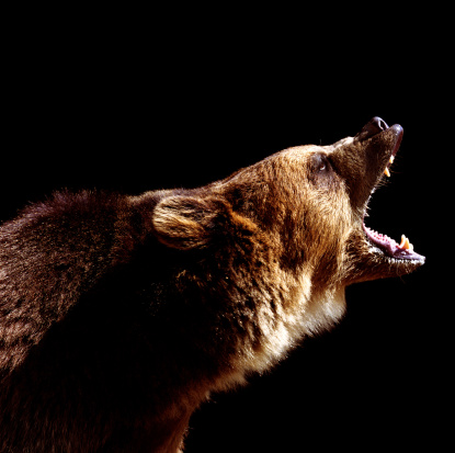 Threats「Brown bear (Ursus arctos) roaring, side view」:スマホ壁紙(12)