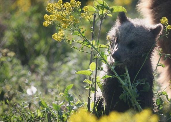 Brown Bear「Brown Bear Cubs Born In Wildlife Park」:写真・画像(18)[壁紙.com]