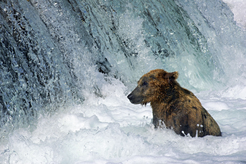 Omnivorous「Brown Bear, Ursus arctos, sitting in rushing water of waterfall. Katmai National Park. Alaska. USA」:スマホ壁紙(10)