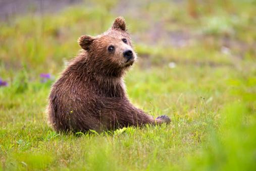 Bear Cub「Brown Bear Cub At Lake Clarke National Park」:スマホ壁紙(9)