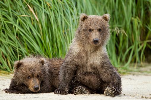 Bear Cub「Brown Bear Cubs, Katmai National Park, Alaska」:スマホ壁紙(11)