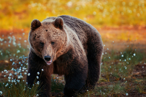 野生動物「Brown bear in forest, Finland」:スマホ壁紙(8)