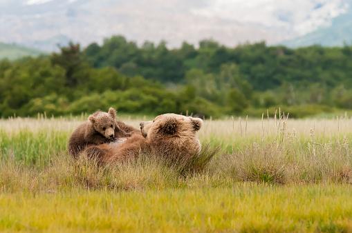 Bear Cub「Brown bear (ursus arctos) sow and playful cub together in a grass field」:スマホ壁紙(19)