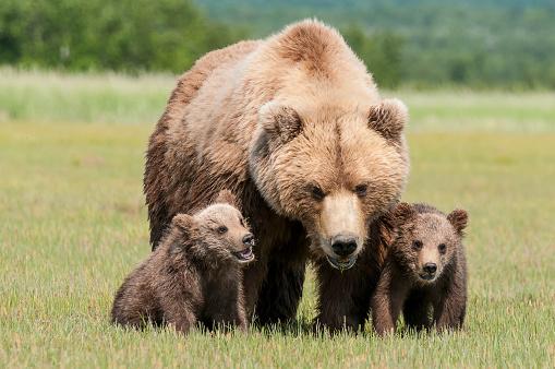 Katmai National Park「Brown bear and cubs, Katmai National Park」:スマホ壁紙(0)