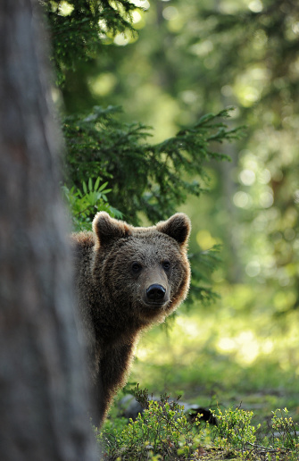 Brown Bear「Brown bear peeking from behind a tree in a sunlit wild area」:スマホ壁紙(19)