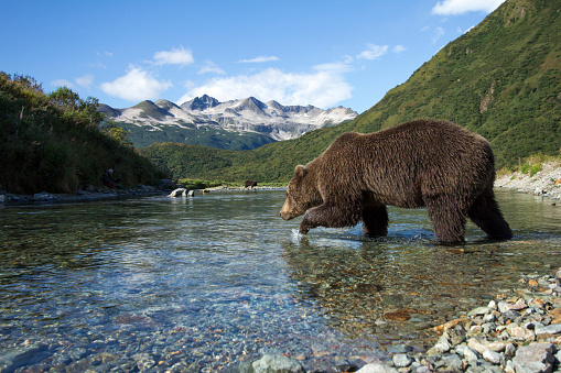 Animals Hunting「Brown Bear, Katmai National Park, Alaska」:スマホ壁紙(11)