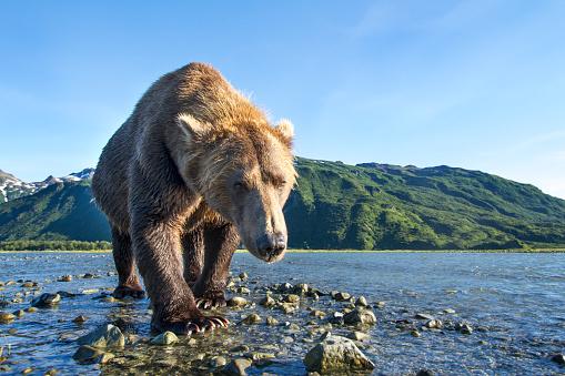 Walking「Brown Bear, Katmai National Park, Alaska」:スマホ壁紙(16)
