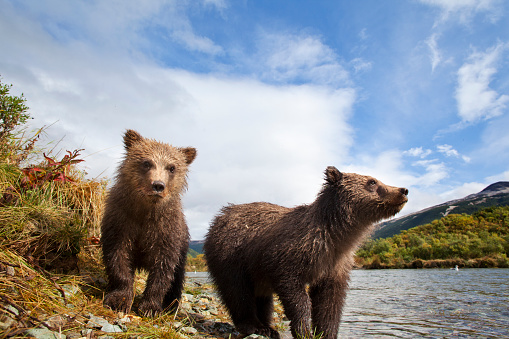 Bear Cub「Brown Bear, Katmai National Park, Alaska」:スマホ壁紙(2)